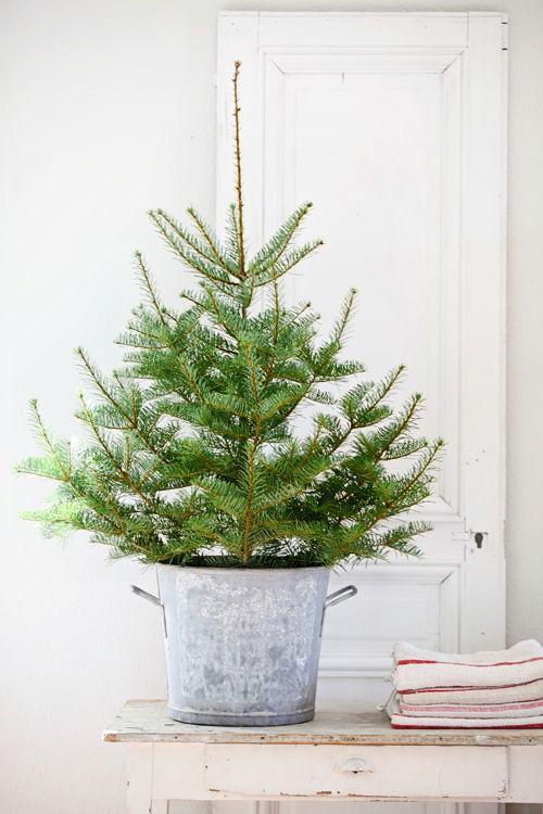 Vánoční živý stromek v květináči. Ekologické Vánoce.