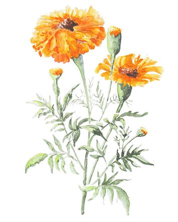 Měsíčkový olej je čistý macarát krásné oranžové barvy. Je znám svými protizánětlivými, mírně antibakteriálními, antioxidačními a regeneračními účinky.
