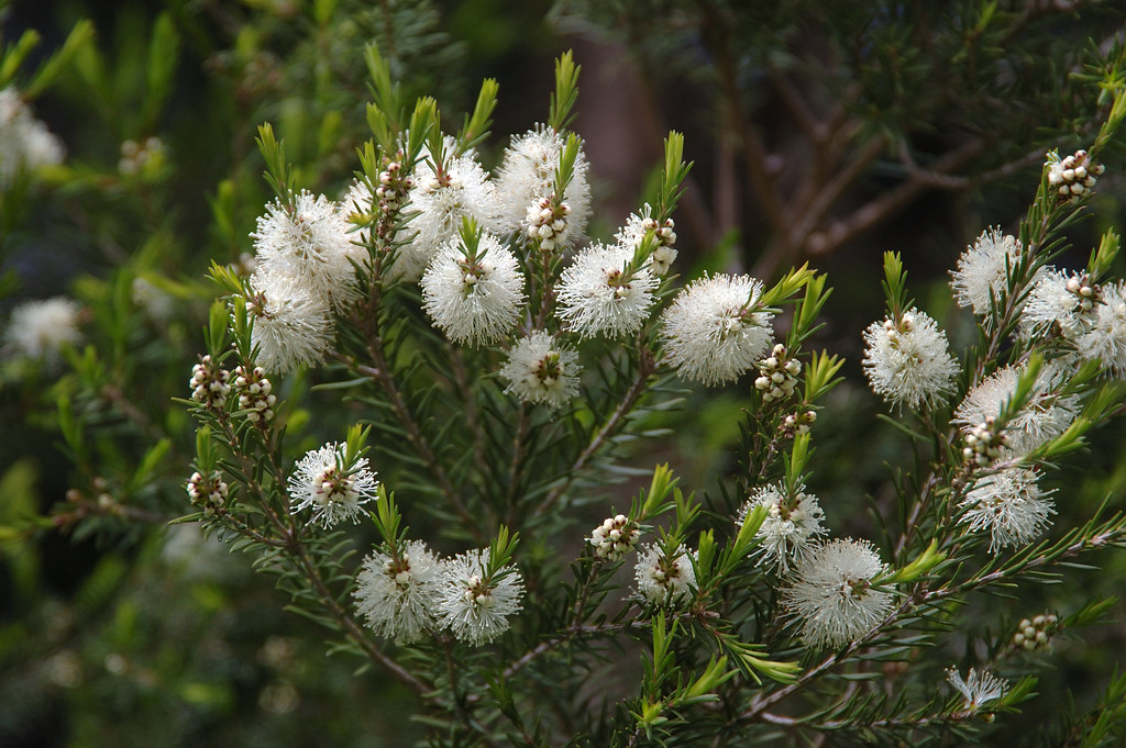 Čajovník Australský, známý také jako Kajeput Střídavolistý Melaleuca alternifolia
